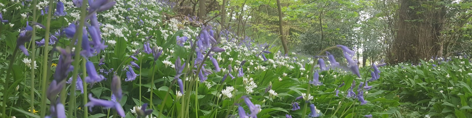 DRG Consulting Ltd Bluebells